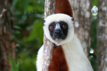 lémurien étonné - parc du palmarium