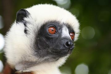portrait de lémurien - parc du palmarium