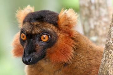 lémurien - parc du palmarium