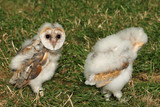 baby barn owls poster