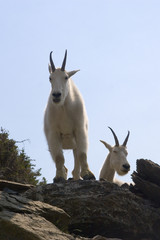 mountain goats perched above