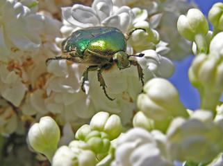 0314-coleoptère sur lilas