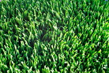 healthy wheat grass poster
