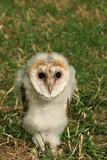 baby barn owl poster
