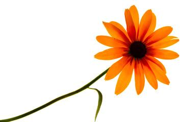 rudbeckia black-eyed susan sun flower isolated