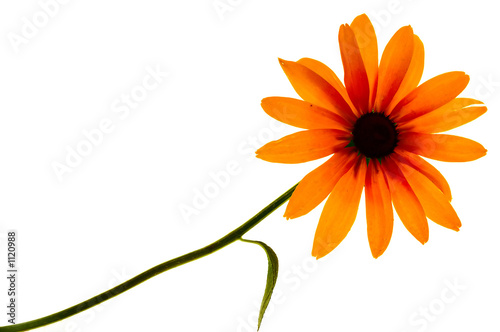 rudbeckia black-eyed susan sun flower isolated