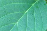 giant leaf poster