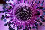 Fototapety anamone flower