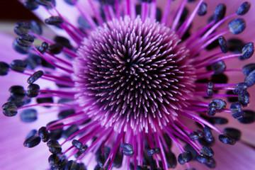 fototapeta kwiat anamone