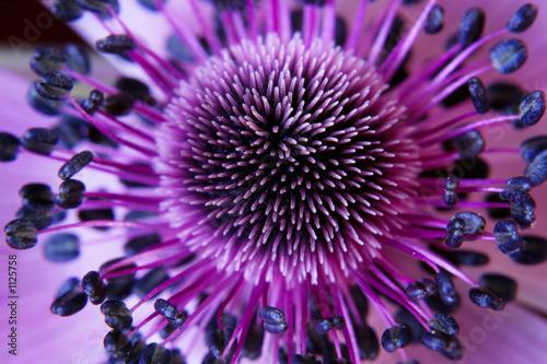 kwiat anamone