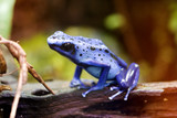 blue poison arrow frog - blue poison dart frog - d poster