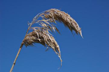 dead reedhead