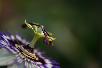 close up of passiflora
