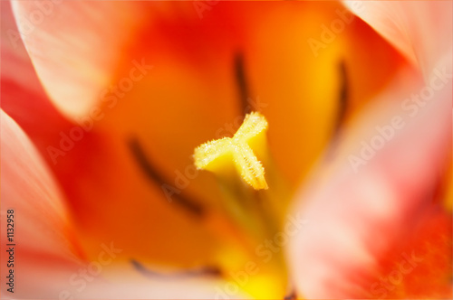 tulip for backgrounds