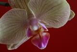 Fototapety orchidee diagonal