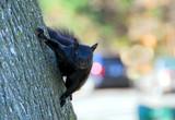 black squirrel poster