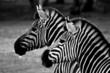 roleta: two zebra