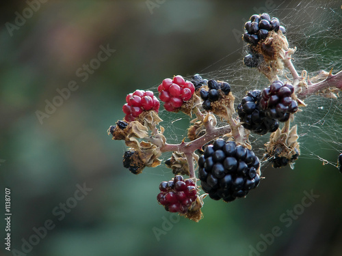 spider net on blckberry