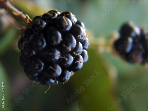 black berry macro