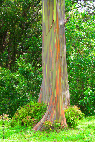 painted eucalyptus tree
