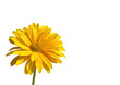 gelbe margerite freigestellt