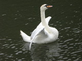 abstract, movement, wings of a swan.balance poster