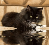 rest of a tired cat with reflection poster