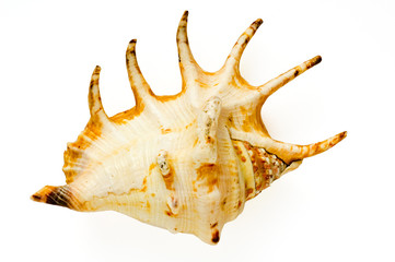 isolated shell on white background