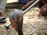 cobra et main du charmeur de serpent poster