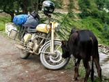 moto royal enfield et vache sacrée poster