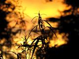 marijuana mâle sur fond de choué de soleil poster