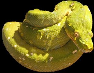 grüner baumpython freigestellt