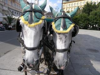 zwei kutschenpferde von vorne