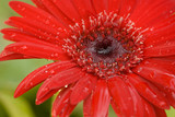 red gerbera daisy - 1169750