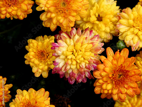 mums in bloom