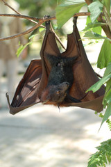 fruit bat 1
