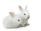 two cute white baby rabbits isolated on white. poster