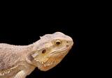 reptile portrait poster