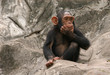 roleta: little chimpanzee