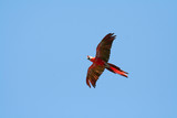 scarlet macaw flying left