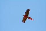 scarlet macaw flying left poster