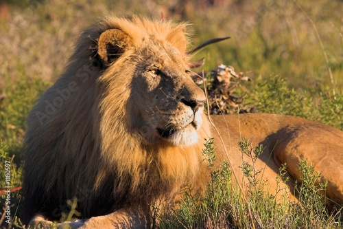Fotobehang resting lion