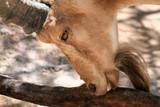 goat nubian ibex showing teeth poster