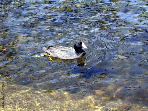 coot swimming