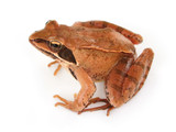 brown frog poster