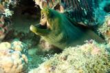 green moray jaws poster