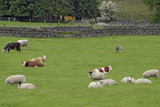 farmland with cattle and sheep poster