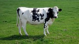 beautiful  black and white cow in farm doing pose poster