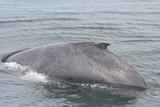 humpback whale,humpback,whale,adolescent,mammal,ma poster