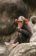 little chimpanzee